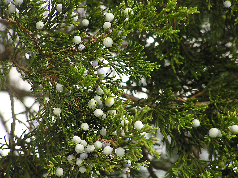 cedar tree berries