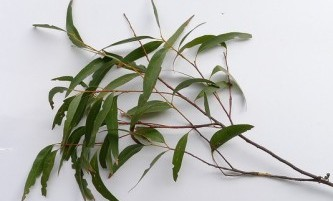 Benefits of Eucalyptus Oil Soap | Dr  Squatch Blog