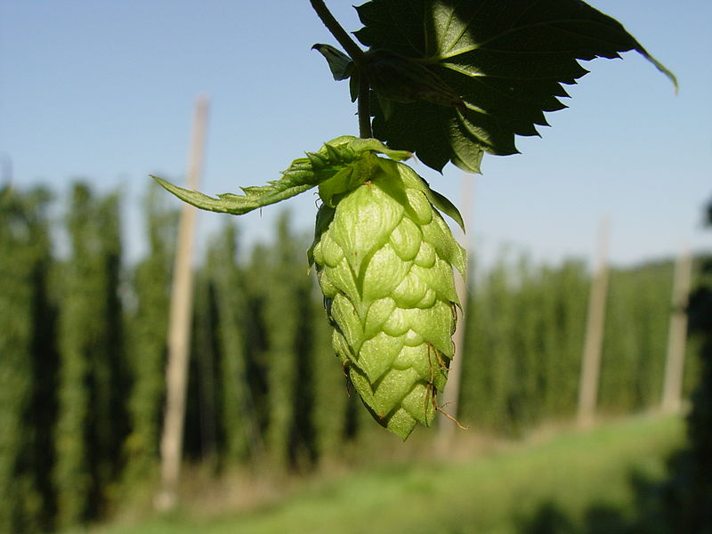 Hops, an ingredient of beer