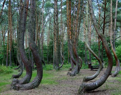 weird nature fact crooked forest poland